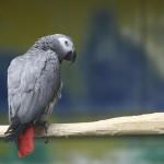 Papagalul Jako
