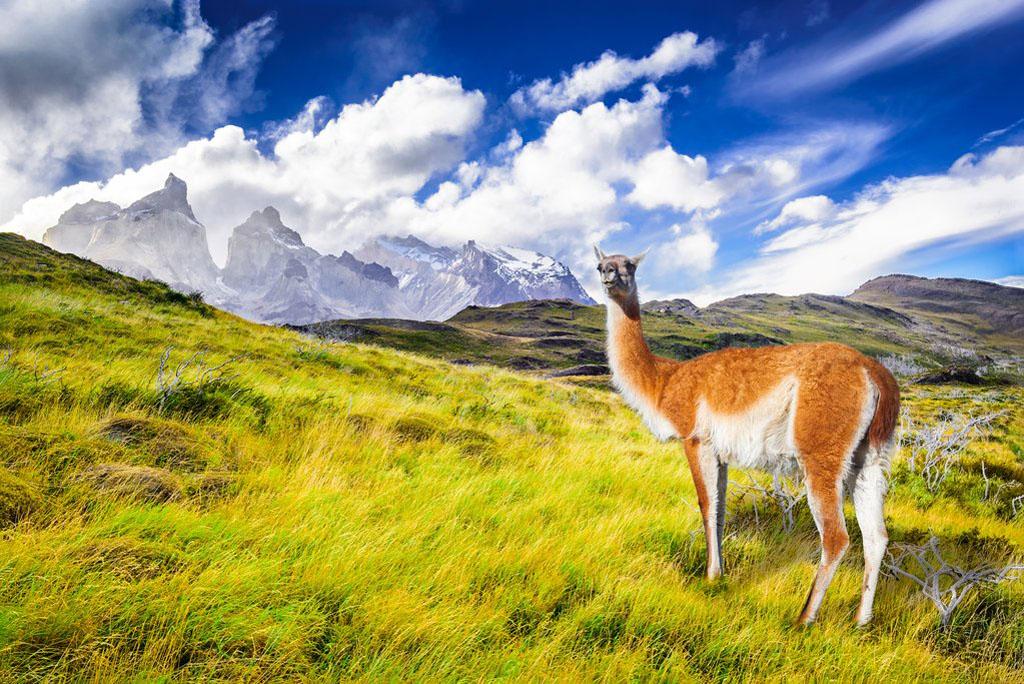 Torres del Paine Lama in Chile