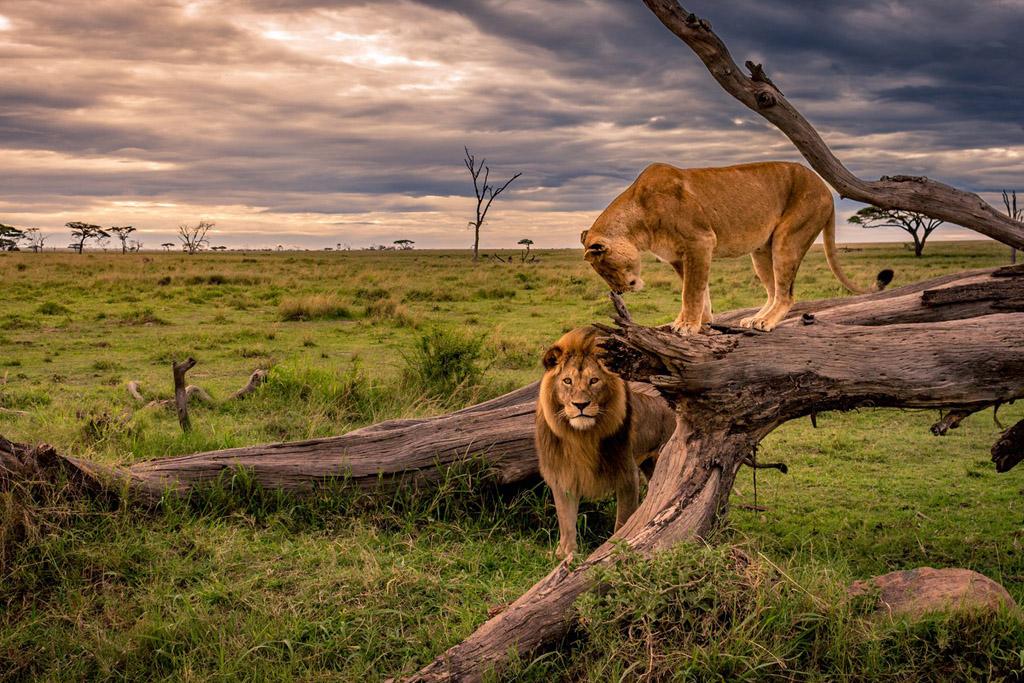 Kenya lions safari